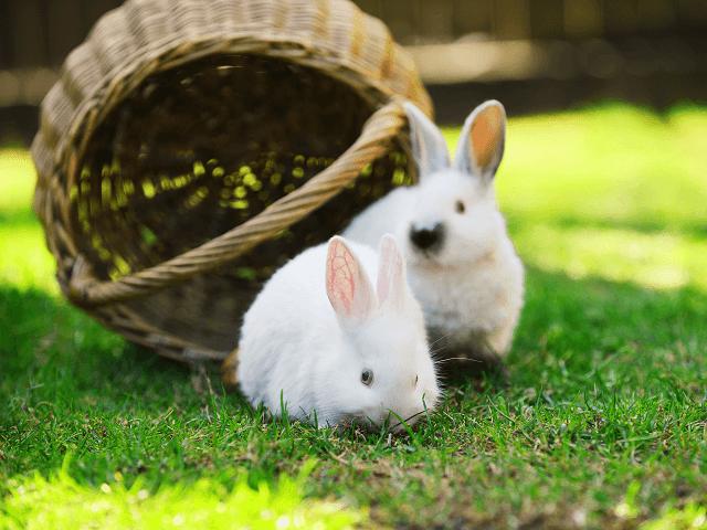 Dva biele králiky