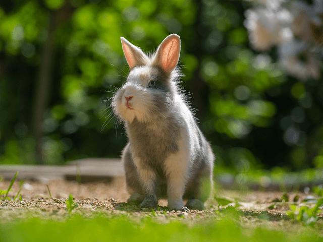 Bielosivý králik na trávniku