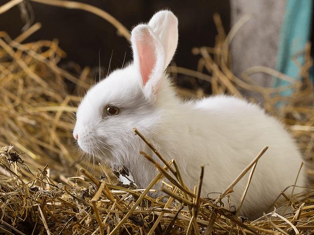 Biely králik na slame