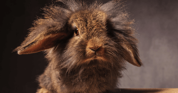 Dlhosrstý králik
