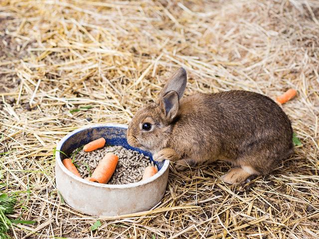Kŕmenie králika mrkvou a granulami