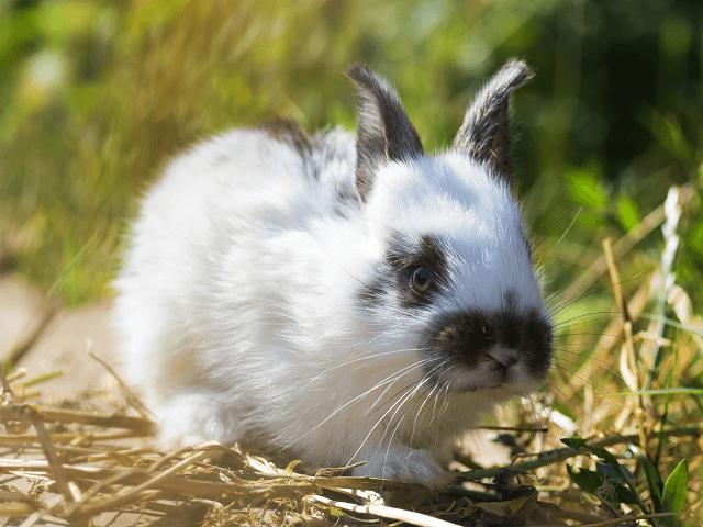 Malý čiernobiely králik v tráve