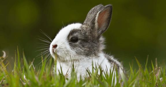Sivo-biele mláďa králika