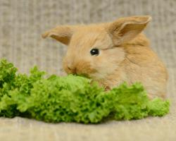 Mladý králiček hryzie šalát