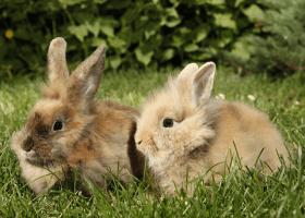 Párik králikov